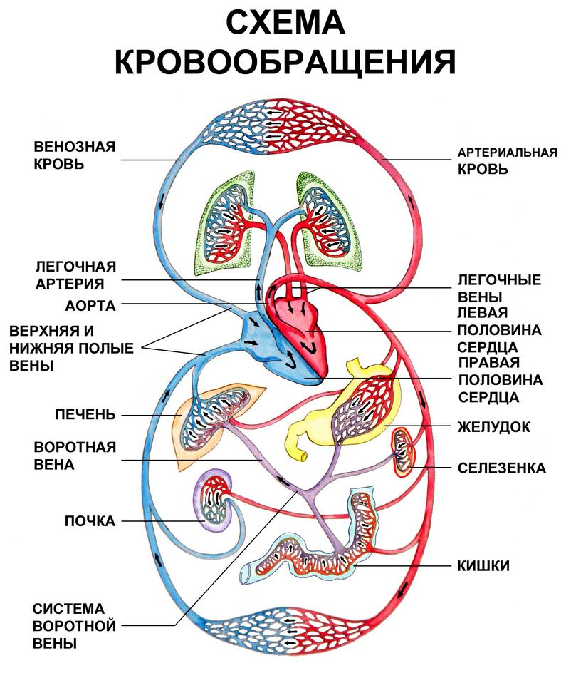 shema_krovoobrachenia_cheloveka